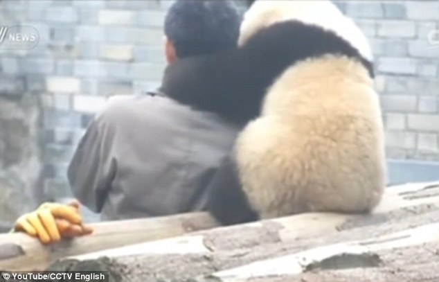 32B2CBA000000578-3517075-Adorable_footage_In_the_video_Manyuemei_can_be_seen_putting_his_-m-28_1459424848642