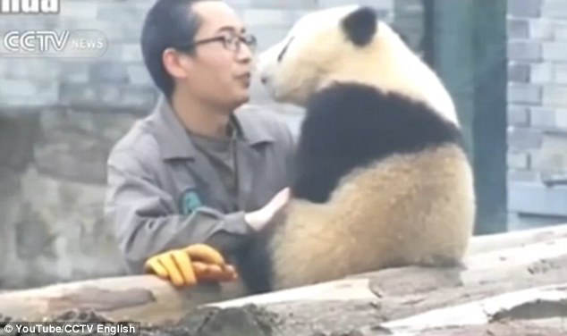 32B2CBAE00000578-3517075-Adorable_Young_panda_cub_Manyuemei_leans_in_to_give_his_foster_d-m-24_1459423167464